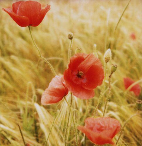 Poppies Susannah Conway