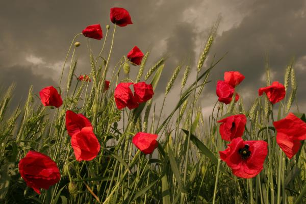 Poppy-field-before-the-storm-floriana-barbu