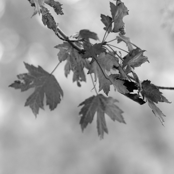 WebMBR_12x12BW_Leaves