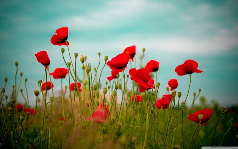 Beautiful_poppy_field-wallpaper-1440x900